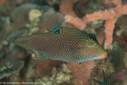 BD-110313-Puerto-Galera-3216-Canthigaster-papua-(Bleeker.-1848)-[Papuan-toby].jpg